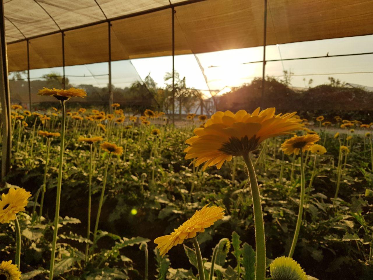 flores em estufa com sol ao fundo