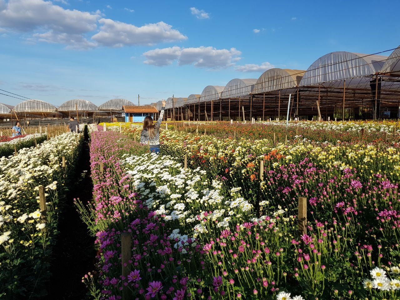 campo de flores coloridas em holambra